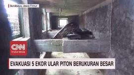VIDEO: Evakuasi 5 Ular Piton Berukuran Besar