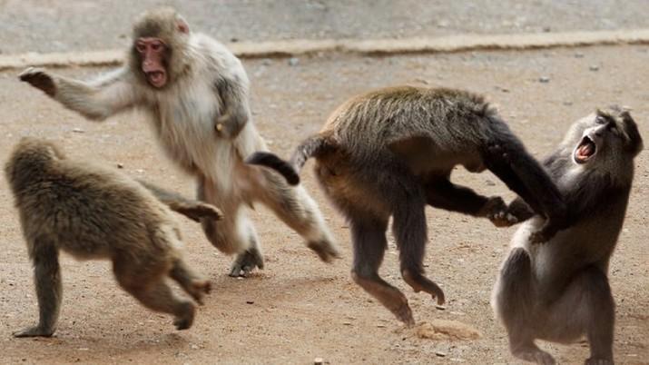 Ilustrasi Monyet Bertengkar. (Ist)
