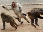Goks! Ilmuwan Bikin Makhluk Hibrida, Manusia dan Monyet