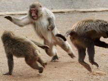 Sadis! NASA Suntik Mati 27 Monyet Dalam Sehari