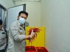 Kementan Pantau Ketat Pasokan Cabai di Tengah Pandemi Corona