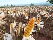 Panen Raya, Mentan Syahrul Ingatkan Petani Dapat Harga Layak
