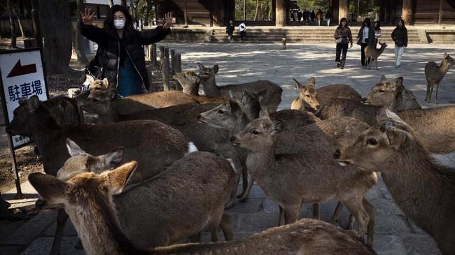 Di hari-hari normal, rusa-rusa memiliki hak istimewa bebas berkeliaran di Nara, termasuk ke toko suvenir dan restoran yang berada berdekatan dengan taman.(AP Photo/Jae C. Hong)