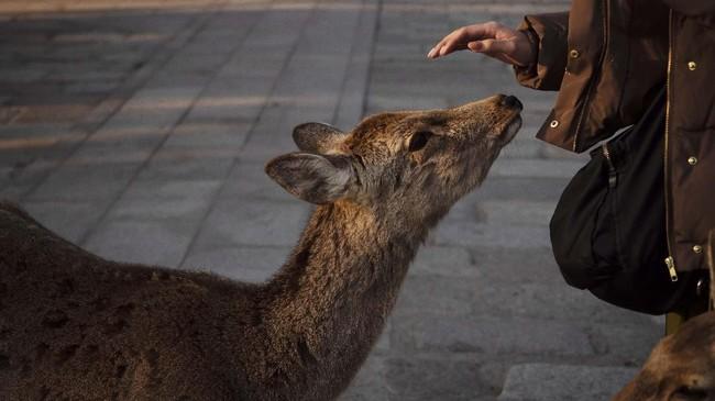 Saat ada pengunjung yang membawa biskuit, rusa-rusa ini akan berkerumun dan sigap menghampiri.(AP Photo/Jae C. Hong)