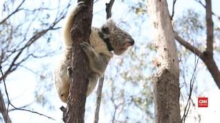 VIDEO: Koala Korban Kebakaran Hutan Dilepas ke Alam Liar