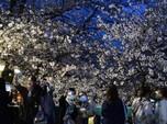 Melihat Mekar Sakura di Tengah Pandemi Corona