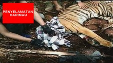 VIDEO: Aksi Penyelamatan Harimau Yang Terjerat