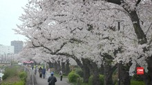 VIDEO: Melihat Bunga Sakura Bermekaran di Tokyo