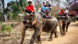 Thailand Sepi Turis, Kawanan Gajah Dikurung & Dibiarkan Lapar