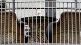 Deb Hoffman, ibu dua anak membuat laman Facebook bertajuk 'Kami Tidak Takut - Berburu Beruang Selandia Baru' mengatakan beberapa orang membuat tantangan dengan menampilkan seakan-akan boneka melakukan kegiatan berbeda setiap hari.(AP Photo/Mark Baker)