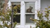 Boneka Teddy Bear seketika muncul di sejumlah sudut rumah di Selandia Baru saat aturan pembatasan wilayah (lockdown) karena virus corona.(AP Photo/Mark Baker)