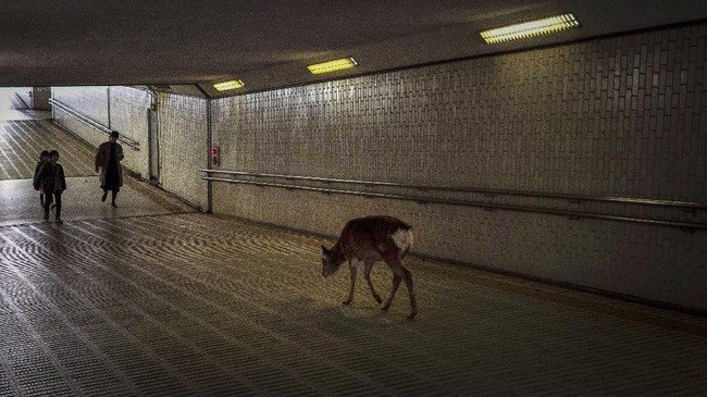 Kawanan rusa juga terlihat menjelajahi jalanan di Nara, Jepang.(AP Photo/Jae C. Hong)