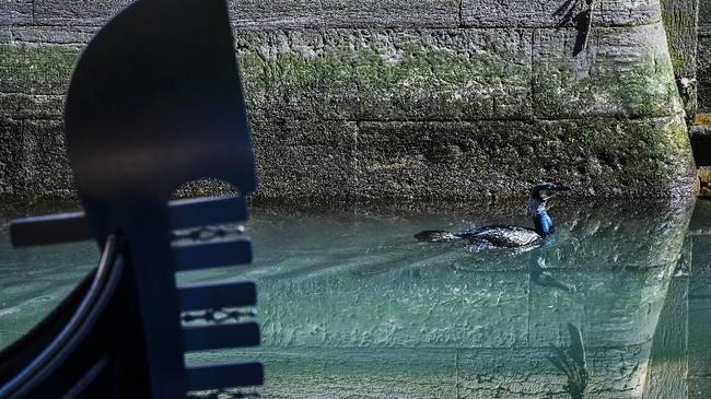 Lockdown Italia tentu saja membuat objek wisata sepi. Namun di Venesia, perairan di kalan tersebut menjadi terlihat lebih jernih.( ANDREA PATTARO / AFP)