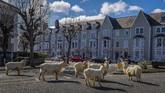 Sekelompok kambing juga ikut meramaikan jalananLlandudno, di utaraWales, yang sepi akibat seluruh warganya karantina mandiri di rumah. (Pete Byrne/PA via AP)