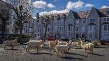 Kawanan Kambing Liar 'Pelesiran' di Jalanan Wales Utara