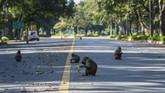 Kawanan monyet di jalanan New Delhi, India. Hewan liar berkeliaran di kawasan yang sedang ditinggalkan manusia akibat karantina mandiri pencegahan virus corona COVID-19. ( Jewel SAMAD / AFP)