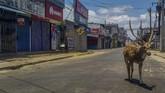 Seekor rusa terlihat menyusuri jalanan yang sepi diTrincomalee, Sri Lanka. (STR / AFP)