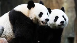 Dinanti 1 Dekade, Dua Panda Kawin Saat Kebun Binatang Sepi
