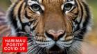 VIDEO: Harimau Terpapar Covid-19