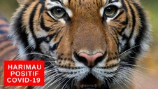 VIDEO: Harimau Terpapar Covid-19