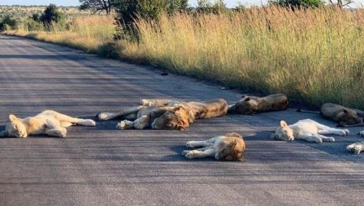 Singa Tidur di jalan saat Lockdown di Afrika Selatan (Richard Sowry/Kruger National Park)