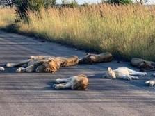 Astaga! 8 Singa Bonbin India Tertular Corona