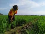 Gapoktan Binaan Pertagas Ekspansi 14 Hektar Lahan Pertanian