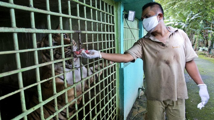 In this Thursday, Monday, May 4, 2020, photo, zoo keeper Ahmad Zuliansyah feeds a tiger with a piece of donated chicken during a feeding time at Medan Zoo, in Medan, North Sumatra, Indonesia. The zoo management is scrambling to find donations of money and food to keep hundreds of animals fed at the zoo that normally relied on ticket sales to run after it was closed to visitors last month due to the new coronavirus outbreak. (AP Photo/Binsar Bakkara)