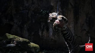 FOTO: Atraksi Daring Harimau Ragunan