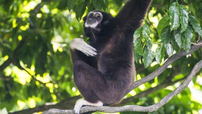 Kebun Binatang Ragunan Gelar Wisata Virtual bersama Siamang