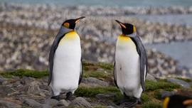 Mengandung Gas Tawa, Kotoran Penguin Bisa Bikin Linglung
