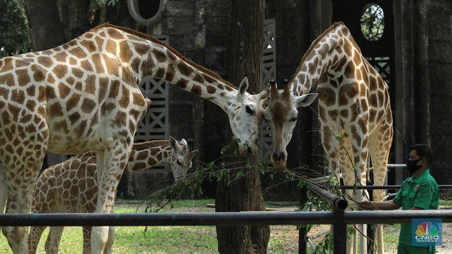 Kebun Binatang Ragunan Buka 20 Juni Beli Tiket Wajib Online
