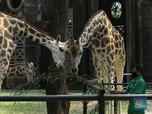 Kebun Binatang Ragunan Buka 20 Juni, Beli Tiket Wajib Online!