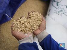 Pantas Jokowi Murka: Subsidi Pupuk Naik, Tapi Produksi Jeblok