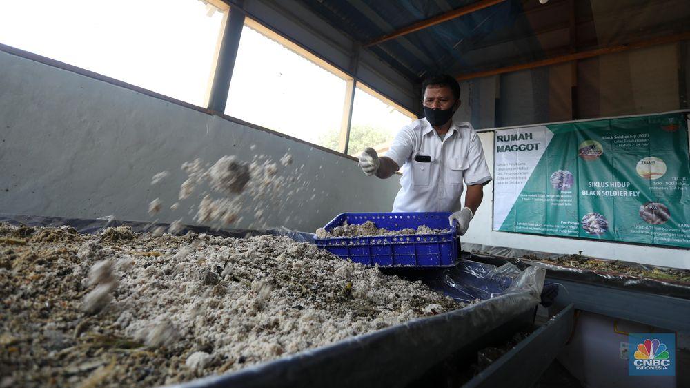 Budidaya Maggot, Binatang Pengurai Sampah Organik. (CNBC Indonesia/Andrean Kristianto)