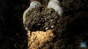 Melihat Budidaya Maggot, Ulat Pengurai Sampah Organik