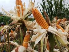 Tanam Jagung, Mentan Siapkan Food Estate di Sumba Tengah