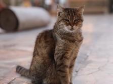 Kabar Duka, Kucing Gli Penghuni Hagia Sophia Tutup Usia