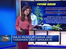Maju Mundur Ganja Jadi Tanaman Obat Binaan di Indonesia