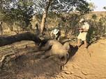 Sedihnya, Belasan Gajah Mati Misterius di Zimbabwe
