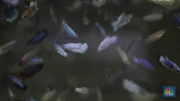 Kecil Kecil Cabai Rawit 5 Ikan Cupang Populer Harga Jutaan