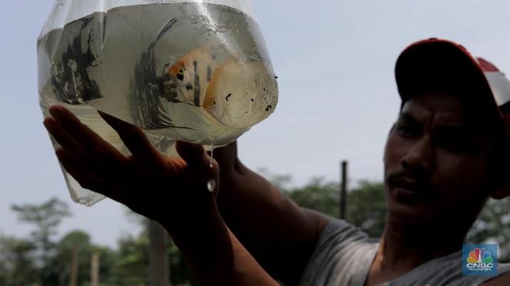 Petani menyortir panen ikan hias dari keramba untuk dijual di Setu Cilala, Kab Bogor. (CNBC Indonesia/Muhammad Sabki)