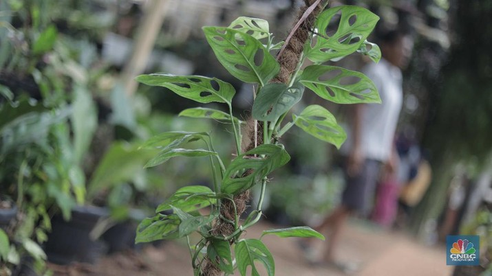 Ilustrasi tanaman hias janda bolong Hijau (CNBC Indonesia/Muhammad Sabki)