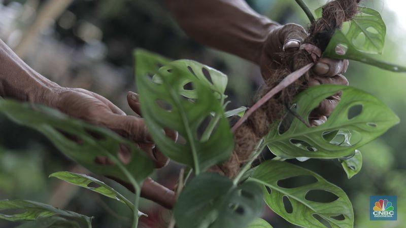 Harganya Melonjak Warga Buru Tanaman Hias Janda Bolong Cs Foto 3