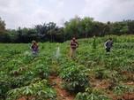 Ubi Kayu Lampung Dapat Serangan Bakteri, Ini Jurus Kementan