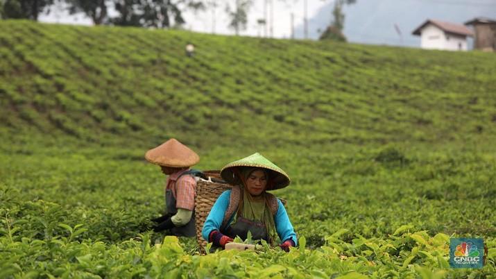 Hari yang cerah para petani mulai bekerja memetik daun teh di kawasan Pasir Jambu, Bandung, Jawa Barat. Teh merupakan satu dari 15 komoditas utama dan unggulan perkebunan Indonesia.    Jawa Barat merupakan produsen teh terbesar di Indonesia. Sekitar 70% produksi teh nasional berasal dari provinsi ini.   Jawa Barat menjadi lokasi pengembangan perkebunan teh karena daerahnya yang subur, udaranya sejuk, dan topografinya yang bergunung-gunung yang sangat cocok untuk tanaman teh.    Kebun teh dikawasan ini tak hanya dikelola badan usahan namun terdapat juga kebun teh rakyat. Kebun teh rakyat merupakan budidaya yang diusahakan secara mandiri oleh masyarakat tanpa berbentuk badan usaha.    Setiap pagi para petani sudah sibuk beraktivitas untuk memetik dan dikumpulkan di wadah yang  dipikul sambil menggunting daun-daun teh terbaik di perkebunan tersebut.   Menurut mereka dalam sehari mereka dapat memetik sebanyak 1 kwintal dari perkebunan teh rakyat ini dan dibawa ke pabrik untuk diolah    Disela sela aktivitas memetiknya, para petani tersebut berkumpul untuk beristirahat diselingi canda gurau untuk menghilangkan letihnya.   Produksi teh dalam negeri beberapa tahun terakhir cenderung melandai karena penyusutan areal perkebunan.   Data Badan Pusat Statistik (BPS) menunjukkan, produksi daun teh kering dalam negeri bergerak fluktuatif dalam 5 tahun terakhir. Produksi tertinggi daun teh kering sebanyak 154.369 ton yang terjadi pada 2014.  Dalam kurun 18 tahun terakhir, jumlah ekspor teh berkurang lebih dari separuh. Dari 105.581 ton pada 2000 menjadi 49.038 ton pada 2018.    Peringkat Indonesia sebagai negara pengekspor teh turun cukup banyak dari urutan ke-5 di dunia pada 2004 menjadi peringkat ke-12 pada 2018.  (CNBC Indonesia/ Andrean Kristianto)