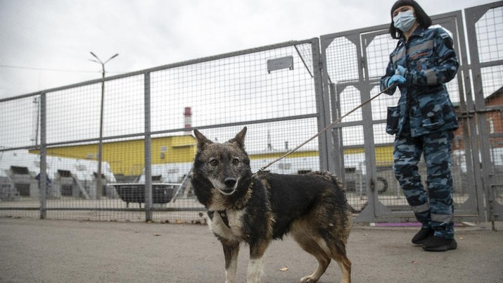 A trainer of the Russian Aeroflot Airlines' canine service walks a sniffer dog in a training center of Sheremetyevo Airport, outside Moscow, Russia, Friday, Oct. 9, 2020. The canine service of Russian Aeroflot Airlines have started training for sniffer dogs to detect coronavirus from infected people. (AP Photo/Pavel Golovkin)
