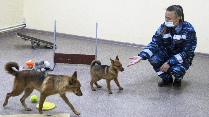 A trainer of the Russian Aeroflot Airlines' canine service trains a three-month-old puppy, center, and it's mother in a training center of Sheremetyevo Airport, outside Moscow, Russia, Friday, Oct. 9, 2020. The canine service of Russian Aeroflot Airlines have started training for sniffer dogs to detect coronavirus from infected people. (AP Photo/Pavel Golovkin)
