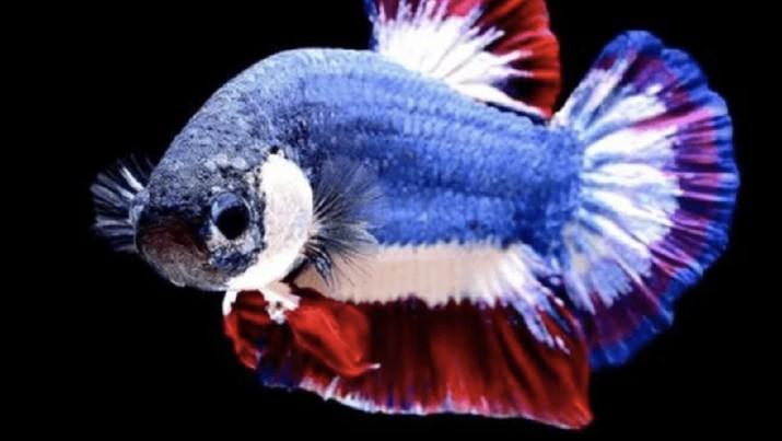 Ikan Cupang Kachen Worachai (sumber: hewany.com)