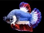 Raup Cuan, Ini Cara Mulai Bisnis Budidaya Ikan Cupang